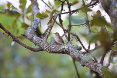 White-browed scrub robin Stock Images