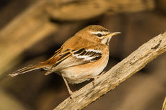 White-browed scrub-robin sit on branch Royalty Free Stock Photos