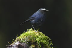 White-browed Shortwing Royalty Free Stock Photography