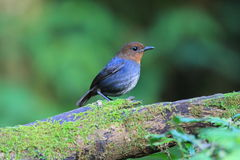 White-browed Shortwing. (Brachypteryx montana) female in Luzon, Philippines Stock Image
