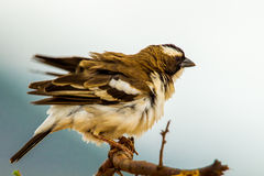 White Browed, Sparrow Meaver Royalty Free Stock Image
