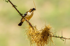 White Browed Sparrow Meaver Stock Image