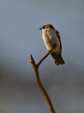 A White-browed Sparrow on a twig Stock Image