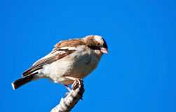 White-browed Sparrow-weaver Stock Images