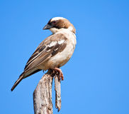 White-browed Sparrow Weaver Stock Image