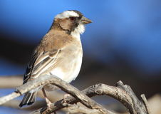 White Browed Sparrow Weaver Royalty Free Stock Images