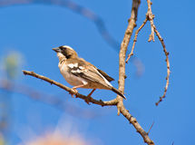 A White-browed Sparrow-weaver Royalty Free Stock Image