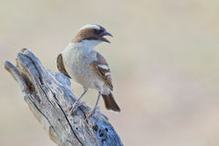 White Browed Sparrow Weaver Royalty Free Stock Photography