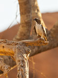 The White-browed Sparrow Weaver Stock Photos