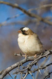 White-browed Sparrow-weaver Stock Photos