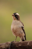 White-browed Sparrow-Weaver Royalty Free Stock Photography