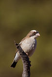 White-Browed Sparrow-Weaver. Perched on dry branch; Plocepasser mahali stock photos