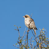 White-browed Sparrow-weaver Royalty Free Stock Image