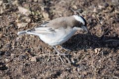 White-browed Sparrow-Weaver in Pilanesberg National Park royalty free stock images