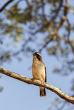 White-browed sparrow-weaver Stock Photography