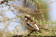 The White-browed sparrow weaver Stock Photo