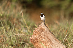 White-browed wagtail. On the chump in Chitwan Nepal Stock Image