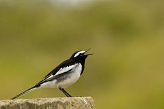 White browed Wagtail Royalty Free Stock Image