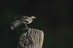 White-browed wagtail bird in Nepal Royalty Free Stock Photo