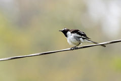 White-browed wagtail with fluffy feathers Stock Photography
