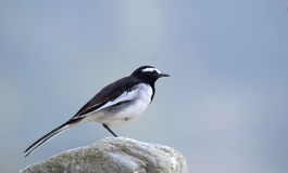 White-browed Wagtail or Large Pied Wagtail (Motacilla madaraspat Royalty Free Stock Photos