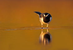 White-browed wagtail Stock Photography