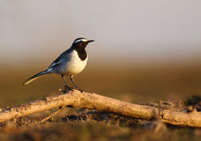 White-browed wagtail Royalty Free Stock Photos