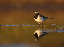 White-browed wagtail Stock Photo