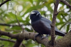 White browed wood swallow. The white browed wood swallow is perched in a tree Stock Photo