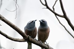 White browed woodswallow. The white browed woodswallows are perched together Stock Images