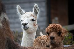Alpacas. White and brown alpacas peeking over the back of a llama Royalty Free Stock Images