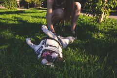 White and Brown American Bulldog Playing With Owner Royalty Free Stock Photo
