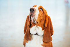 White And Brown Basset Hound Dog Close Portrait Stock Image