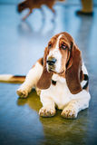 White And Brown Basset Hound Dog Stock Photo