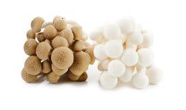 White-Brown beech mushrooms, Shimeji mushroom, Edible mushroom i. White-Brown beech mushrooms, Shimeji mushroom, Edible mushroom on white background stock image