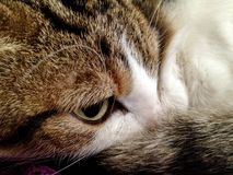 Closeup of cats eye and face royalty free stock images