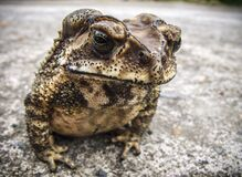 White Brown and Black Frog Stock Images