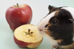 White, brown and black guinea pig with apple. royalty free stock photography