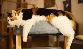 White, Brown, and Black Med Coated Cat Laying on Gray Ottoman Royalty Free Stock Image