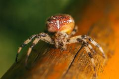 White Brown and Black Spider on Brown Wood Stock Photography