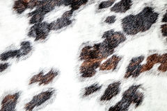 White, Brown and Black Spotted Cowhide on Display Stock Image