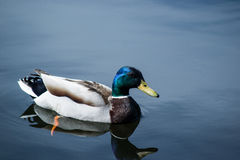 White Brown and Blue Duck Floating on Clear Body of Water Royalty Free Stock Image