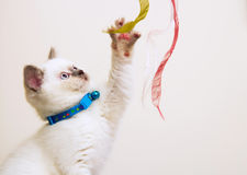 White and Brown British Shorthair Kitten Playing With Ribbons Stock Photos