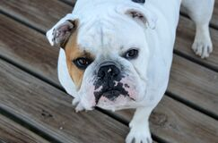 White and Brown Bulldog on Brown Wood Planks royalty free stock images