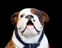 White Brown Bulldog Stock Image