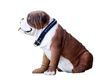 White and Brown Bulldog Royalty Free Stock Images