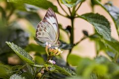 White and brown butterfly on flower. Photo of White and brown butterfly on flower Royalty Free Stock Photo