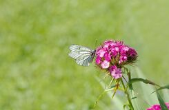 White Brown Butterfly Perched on Pink Flower Stock Image