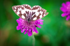 White Brown Butterfly Perched on Purple Flower Stock Photos