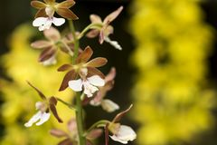 White calanthe and blurs. White and brown calanthe flowers in front of yellow blurs Royalty Free Stock Photography